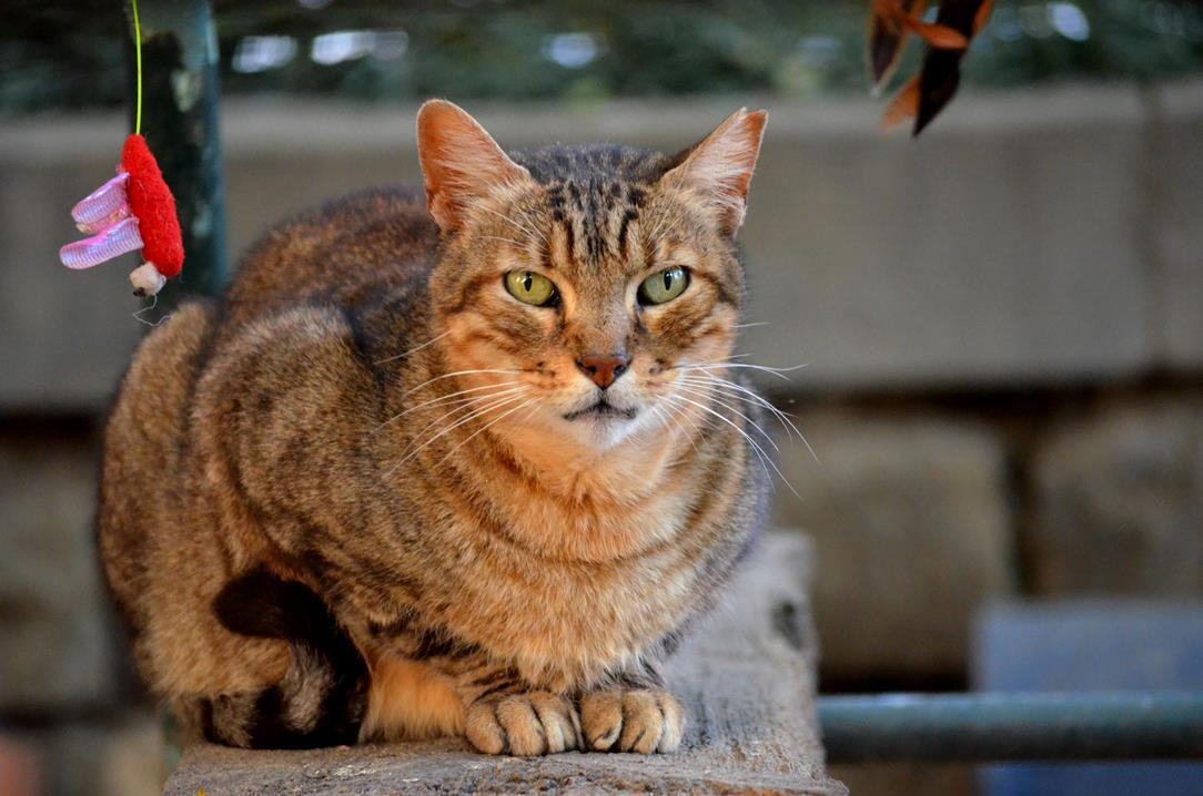 Tigre 15